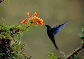 Colibri Gigante(Patagona gigas)