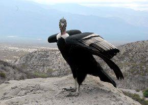 condor andino (vultur gryphus)