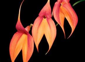 Orquídeas machu picchu
