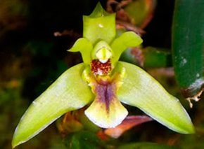 Orquídeas machupicchu